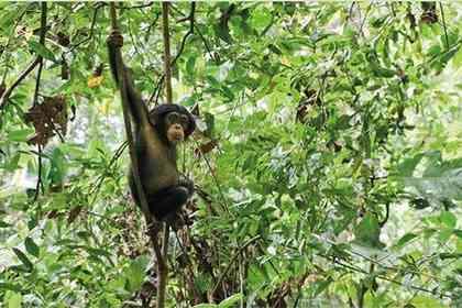Chimpanzés - Photo 1