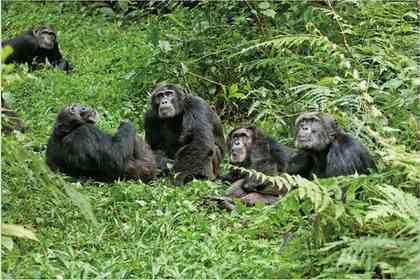 Chimpanzés - Photo 2