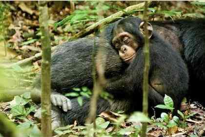 Chimpanzés - Photo 3