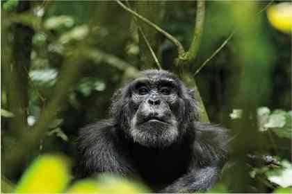 Chimpanzés - Photo 4
