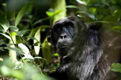 Chimpanzés - Photo 5