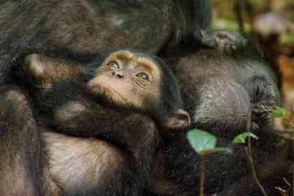 Chimpanzés - Photo 6