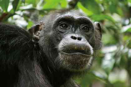 Chimpanzés - Photo 7