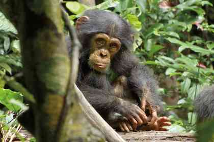 Chimpanzés - Photo 8