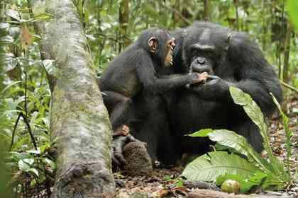 Chimpanzés - Photo 9