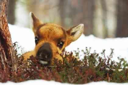 Aïlo: Une odyssée en Laponie - Photo 4