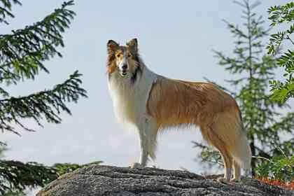 Lassie - Foto 4